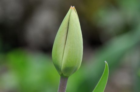 nature, green leaf, herb, plant, garden, tulip flower, green