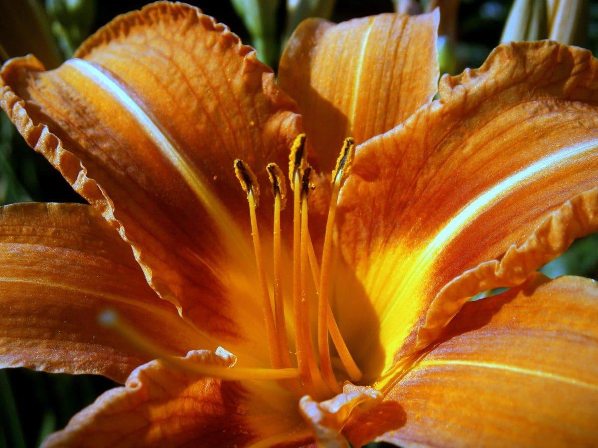 Natur, Pistil, Pollen, Detail, Garten, Lilie, Pflanze, Blume