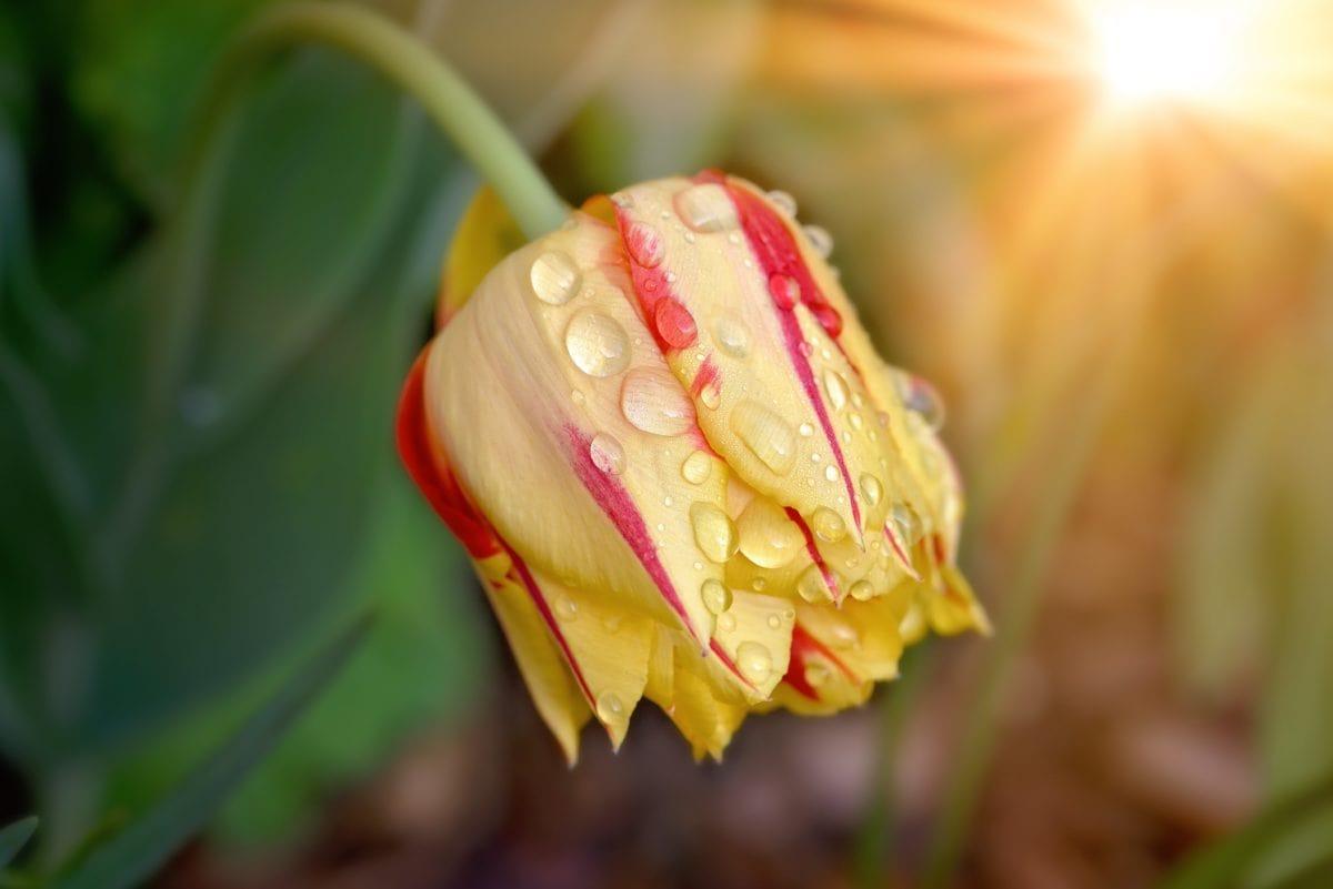 flower, nature, white tulip, sunshine, plant, petal, dew, garden, blossom