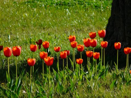 field, summer, grass, flower garden, nature, leaf, red tulip