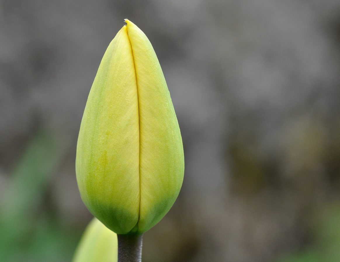 leaf, flower bud, nature, tulip, plant, garden, herb, green