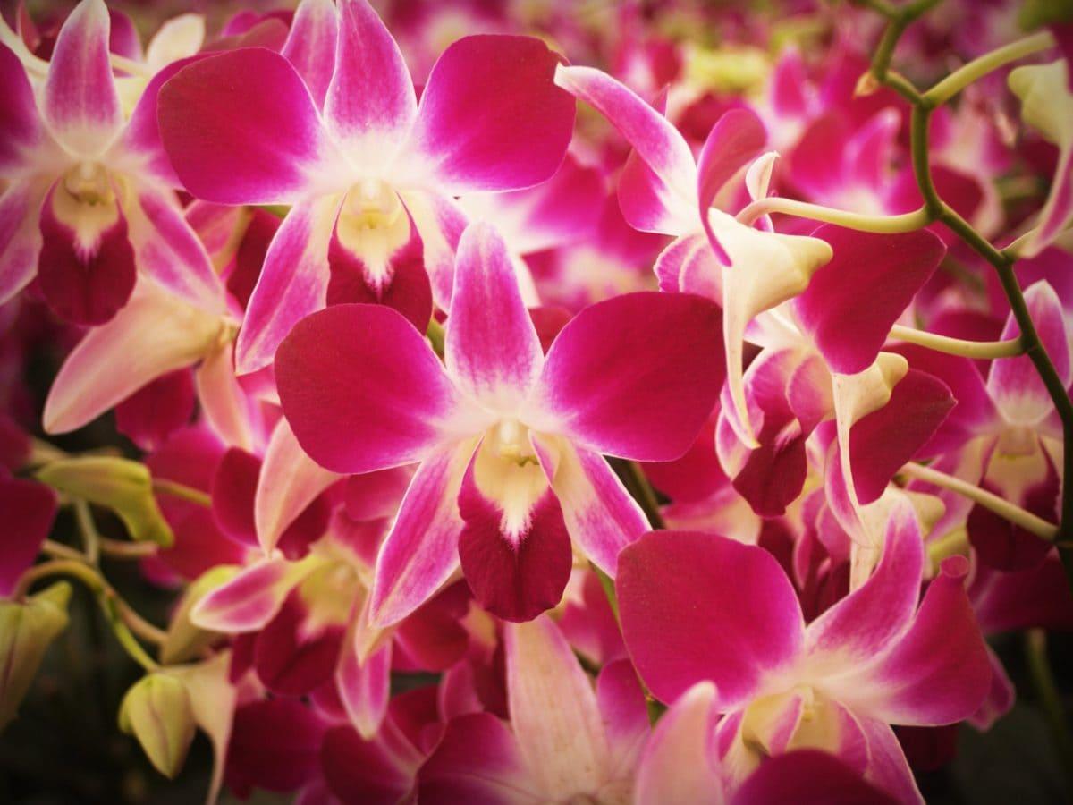 nature, beautiful, petal, garden, flower, pink orchid