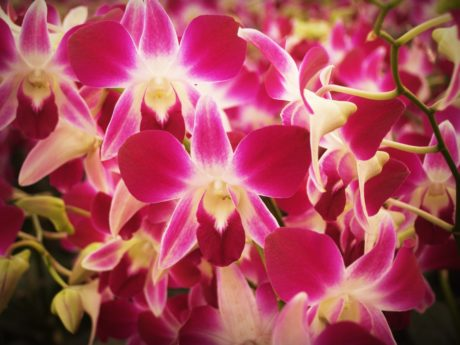 nature, beautiful, petal, garden, flower, pink orchid