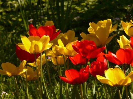 grass, summer, leaf, red tulip, nature, garden, field, flower