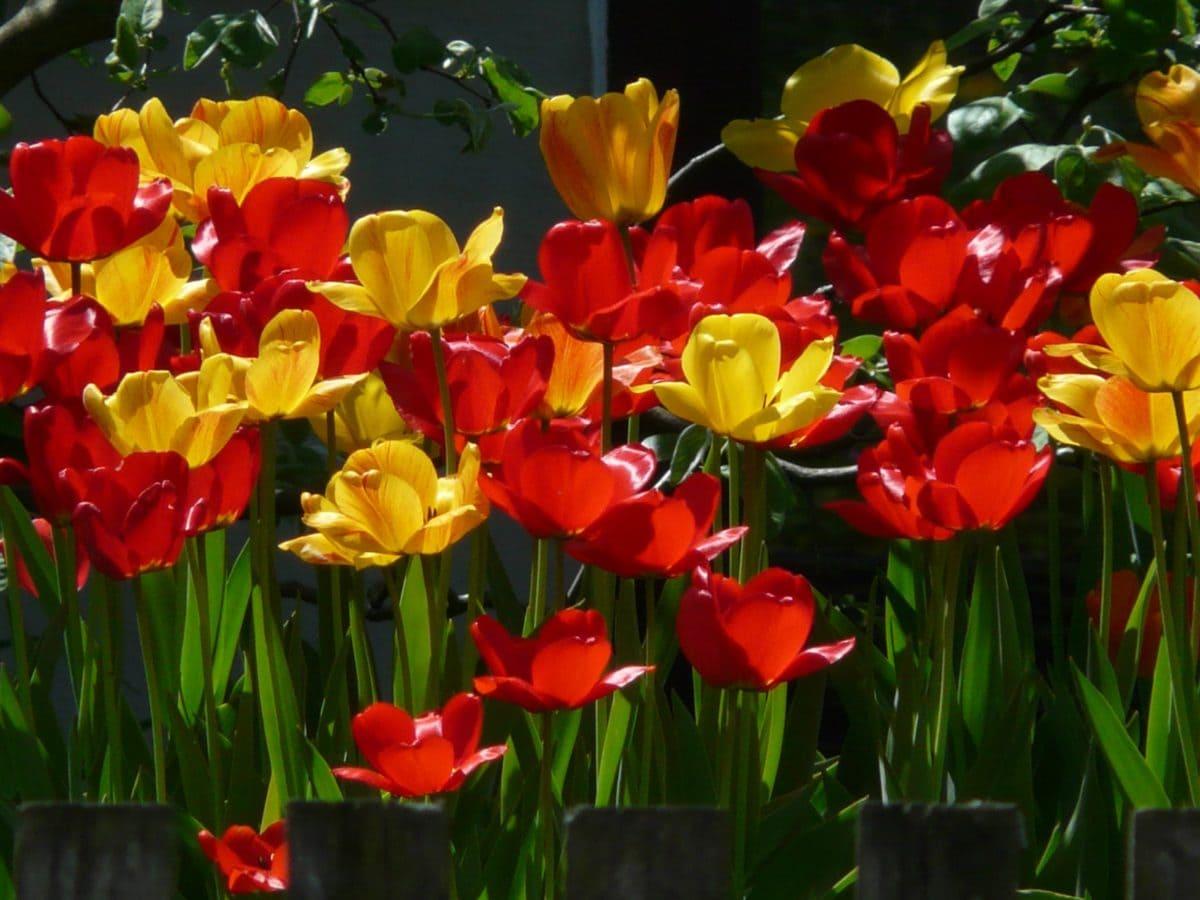 garden, leaf, flower, nature, summer, tulip, plant, blossom