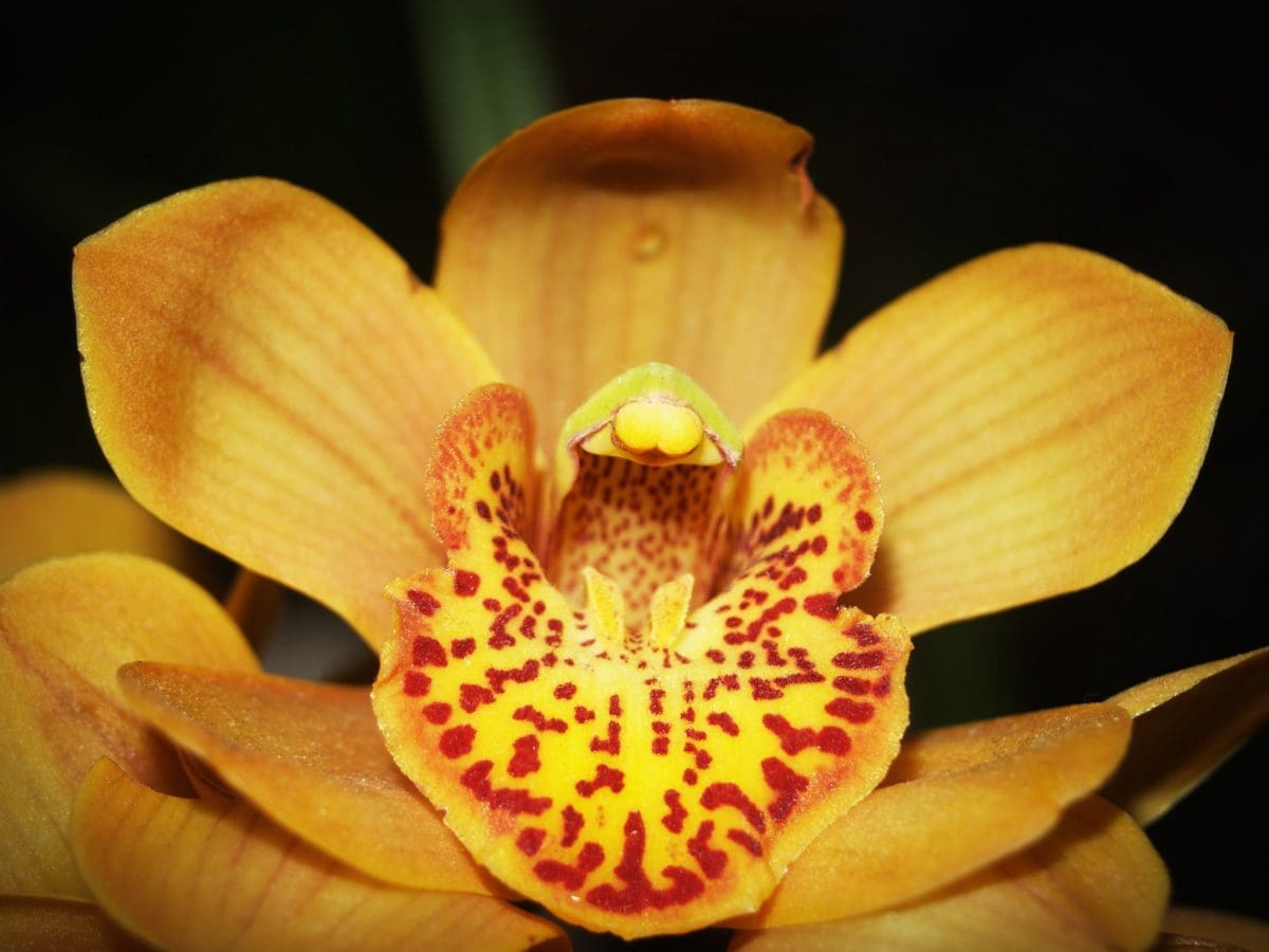 flower, nature, yellow orchid, pollen, plant, petal, blossom