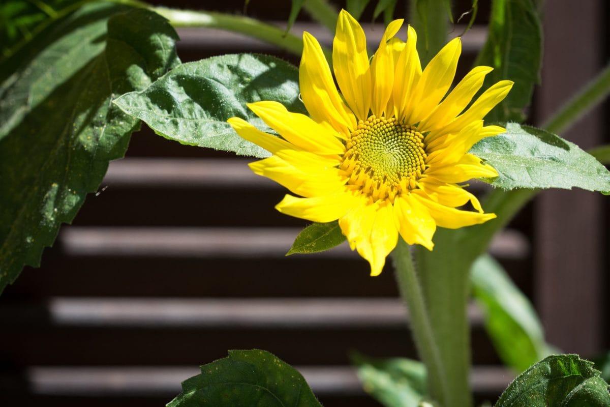 naturaleza, hoja, verano, girasol, planta, flor, hierba, Pétalo