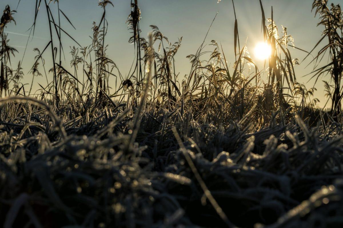 field, cereal, sunset, nature, sun, sky, plant, sunshine