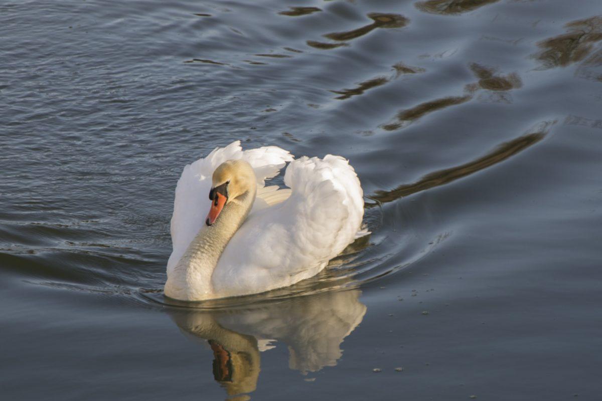water, lake, bird, bird, waterfowl, reflection, white swan, reflection
