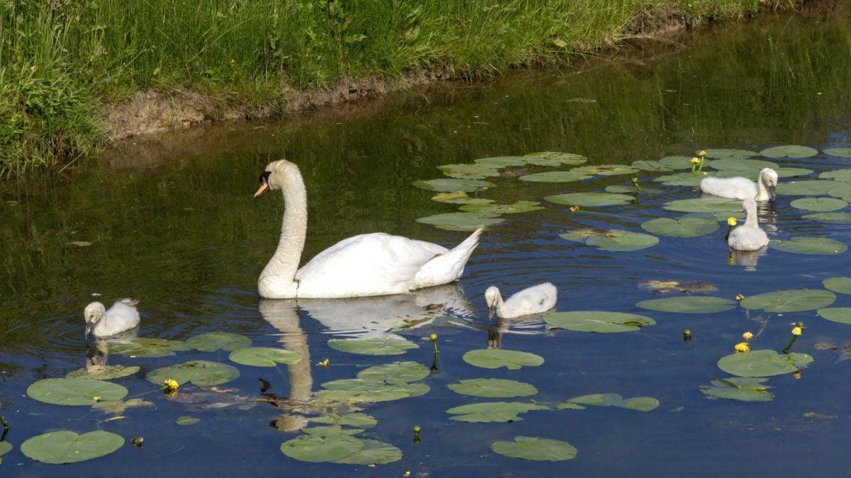 waterfowl, bird, nature, lake, white swan, water, wildlife