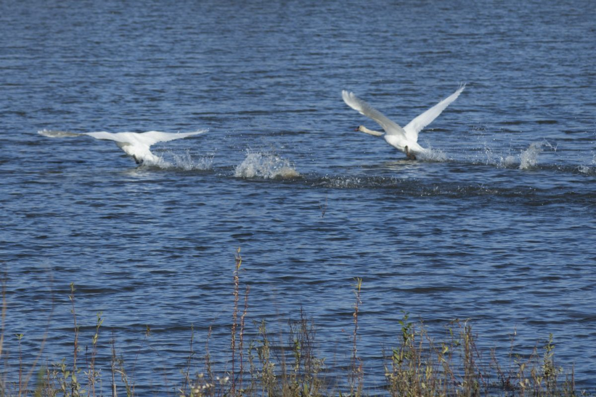 wildlife, nature, white swan, bird, water, seabird, flight