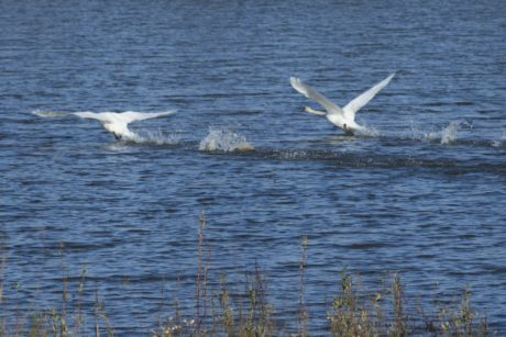 Wildlife, natur, White Swan, fugl, vann, sjøfugl, Flight