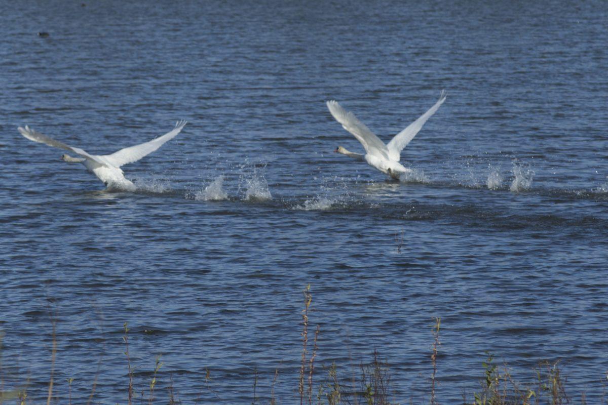 nature, water, wildlife, bird flock, white swan, lake, zoology