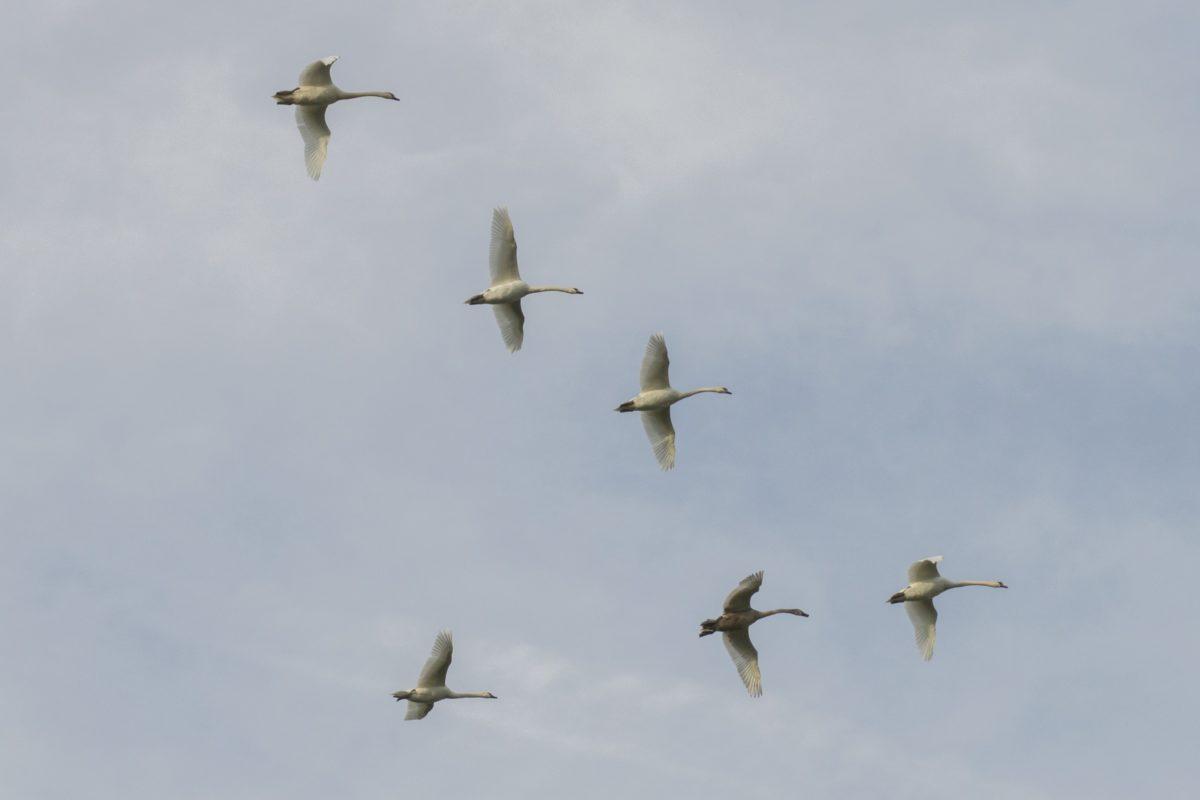 ptačí hejno, Bílá labuť, let, divoká zvěř, modrá obloha, vzduch, mrak