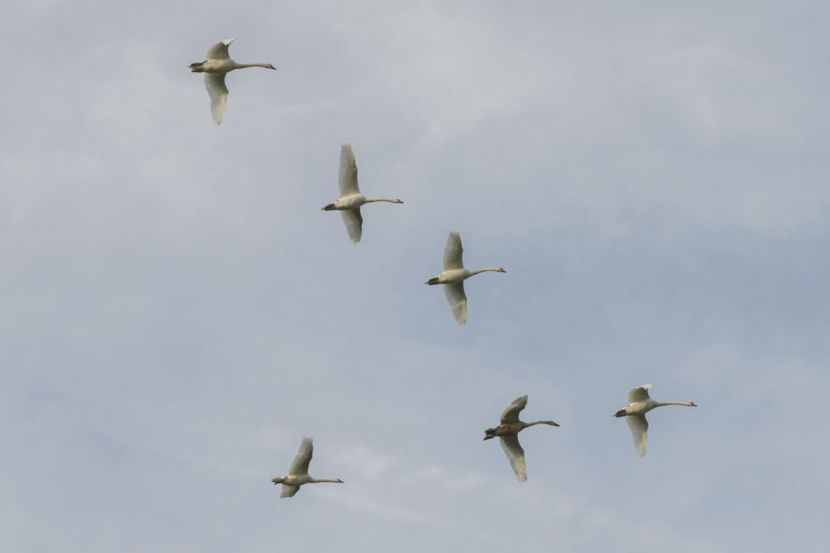 bird flock, white swan, flight, wildlife, blue sky, air, cloud