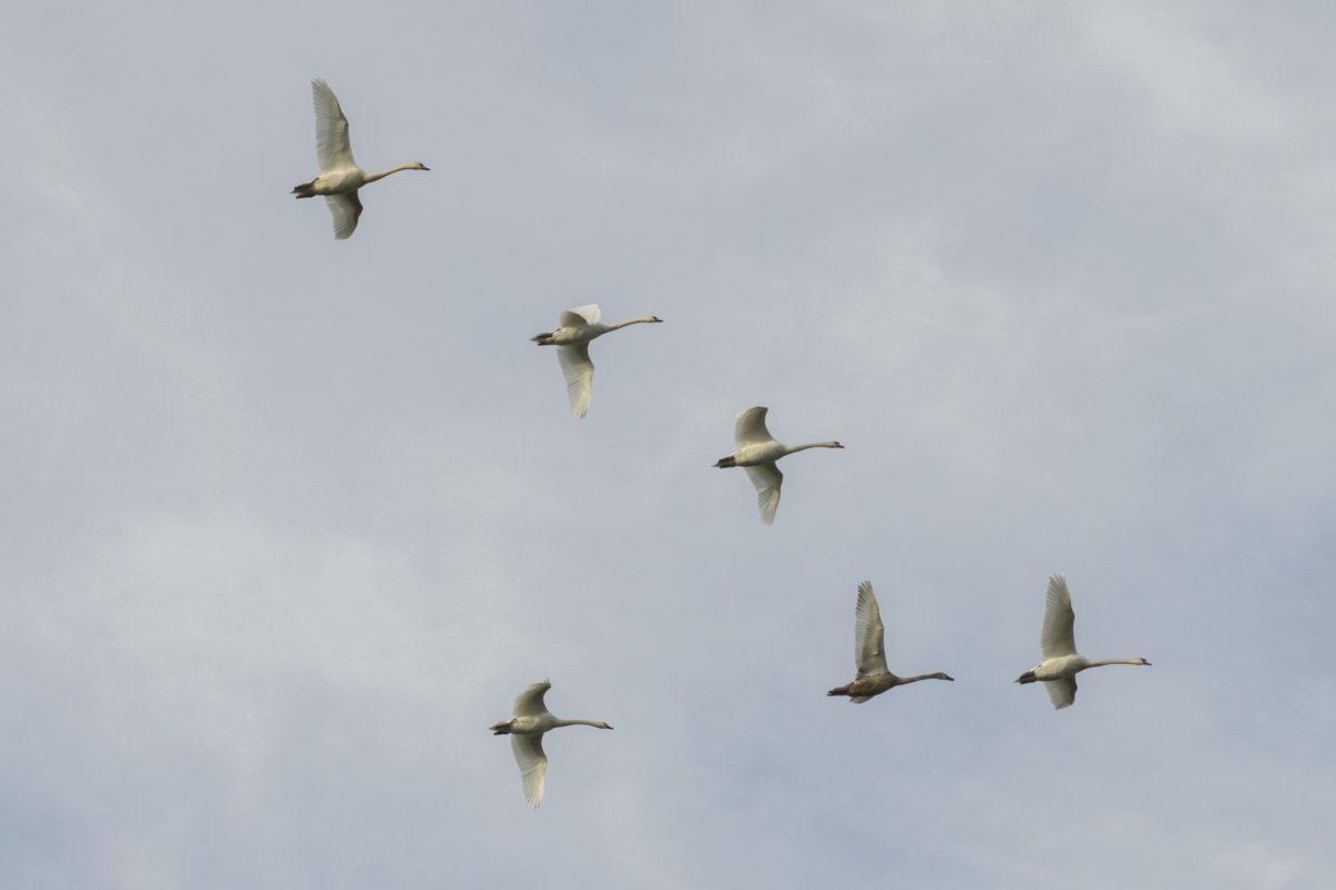 volo, fauna selvatica, uccello, cigno bianco, cielo, uccello gregge, nube, migrazione