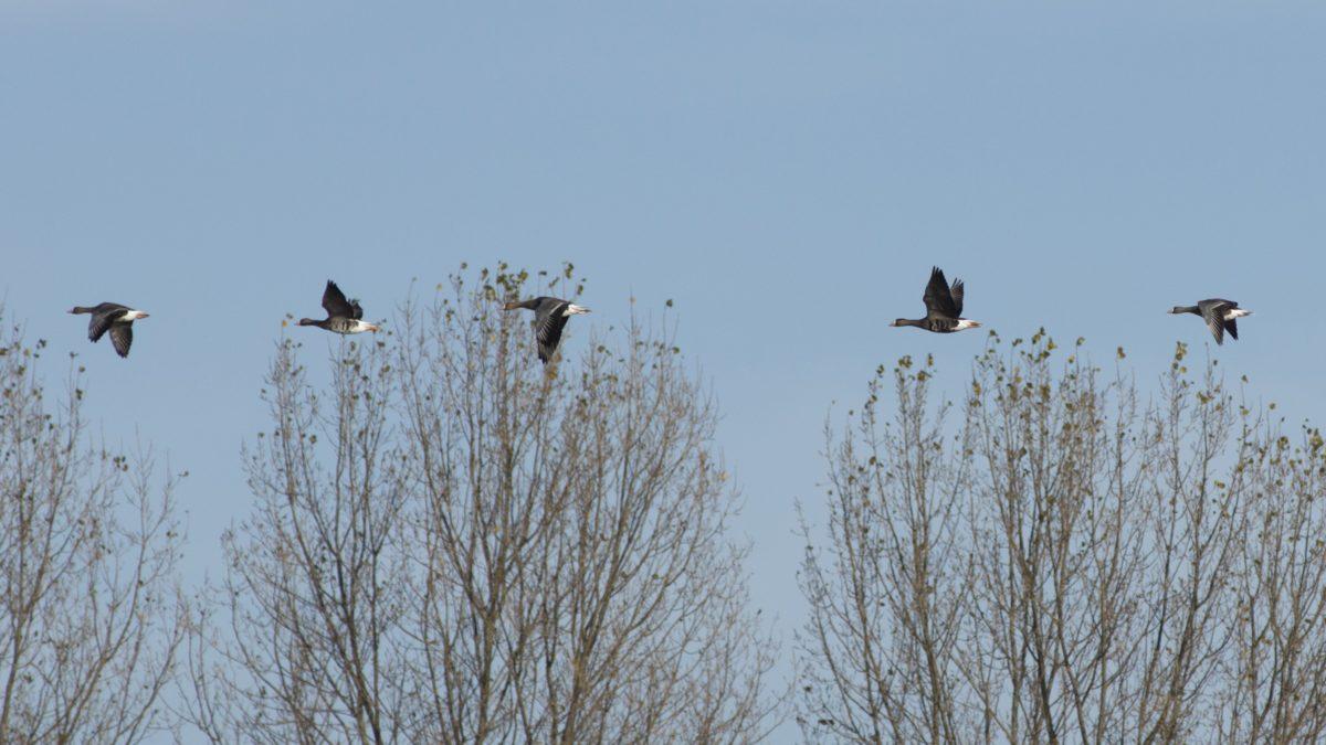 Kanadská Husa, modrá obloha, pták, divoká zvěř, zima, čáp, strom, venkovní, zvíře