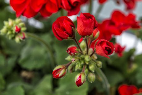 nature, geranium flower, leaf, garden, plant
