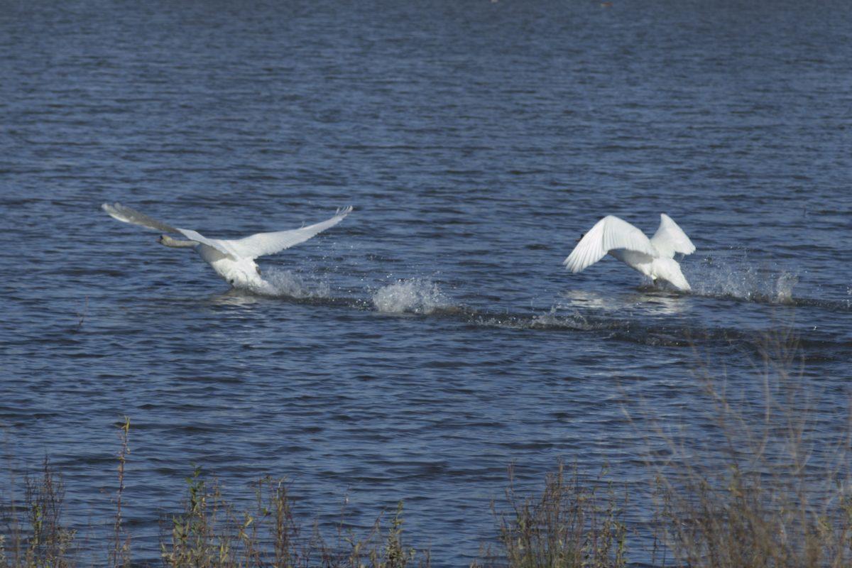 น้ำ, สัตว์ป่า, ธรรมชาติ, นก, หงส์ขาว, ขนนก
