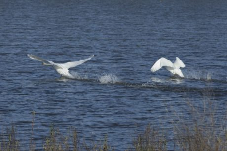 water, wildlife, nature, bird, white swan, feather