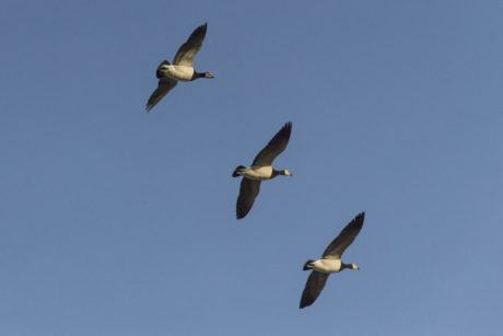 bird, wildlife, Canadian goose, flight, waterfowl, sky, feather, outdoor