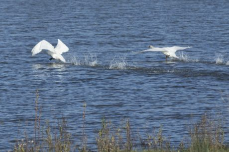 bird, water, nature, wildlife, white swan, lake, zoology, biology