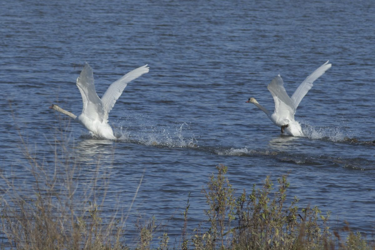 nature, wildlife, water, bird, white swan, flight, feather, wing, zoology