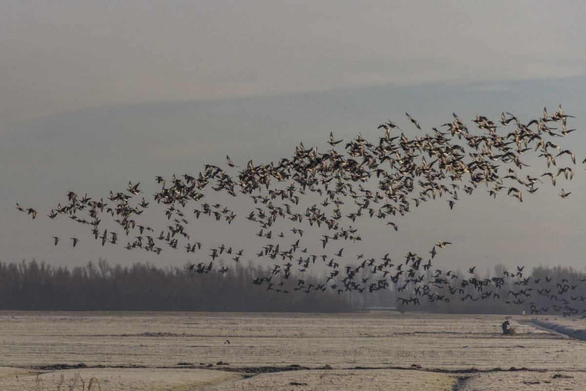 bird, flock, waterfowl, goose, sea, migration, sky, landscape, water, beach