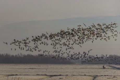 bird, flock, waterfowl, goose, sea, migration, sky, landscape, water, beach