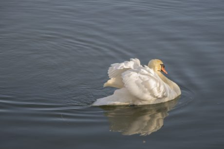white swan, lake, water, waterfowl, reflection, animal, zoology, bird