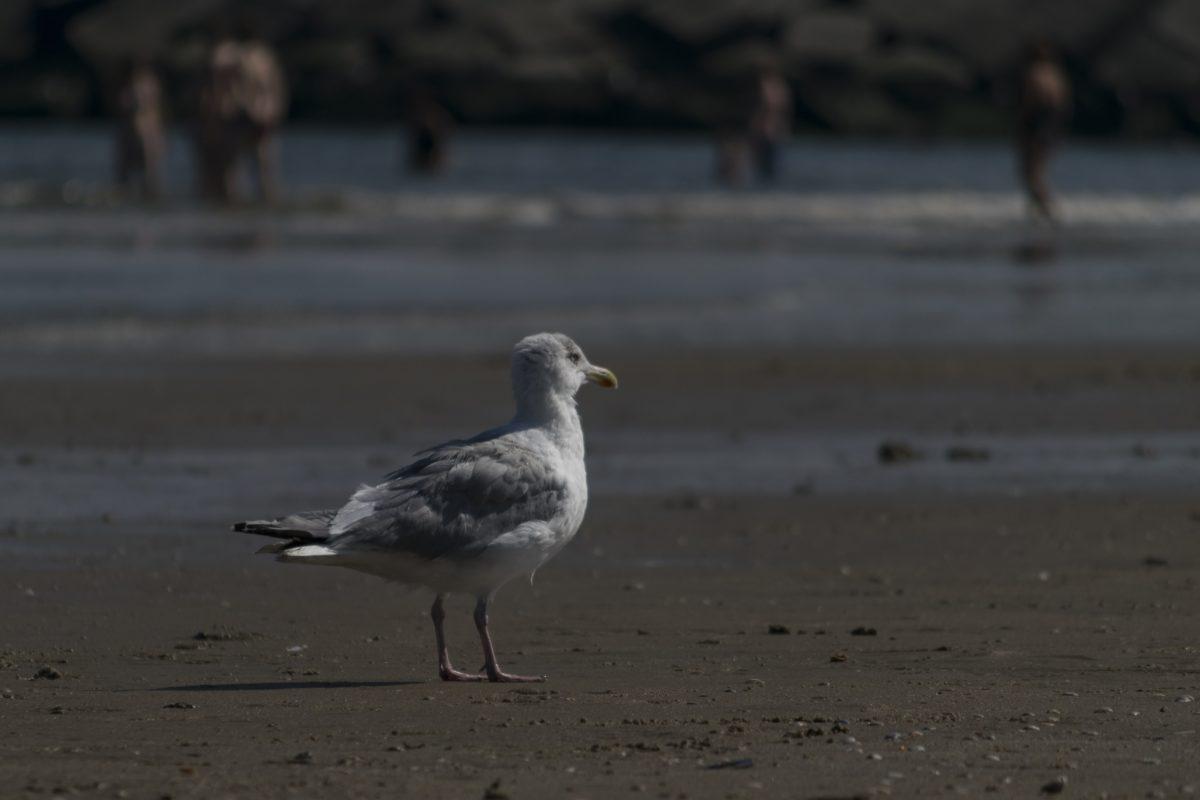 more, plaža, ptica, pijesak, voda, morske ptice, galebovi, divlje životinje, pero