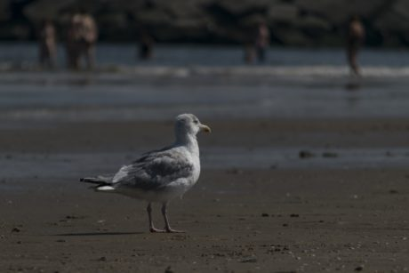 sea, beach, bird, sand, water, seabird, seagull, wildlife, feather