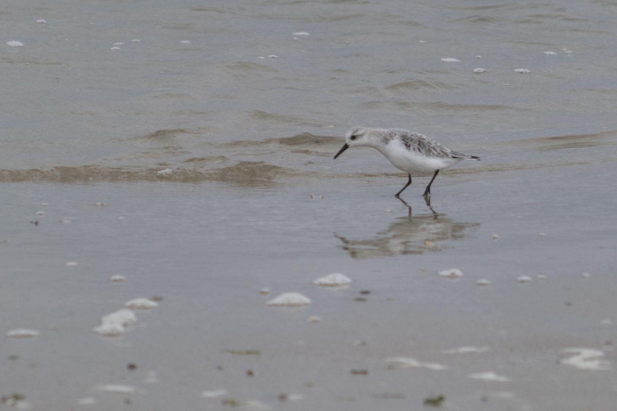 beach, wildlife, bird, sand, water, shorebird, sandpiper bird