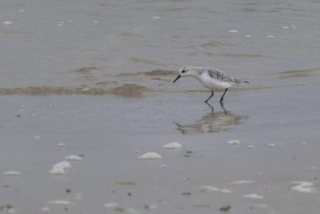 beach, wildlife, bird, sand, water, shorebird, sandpiper bird