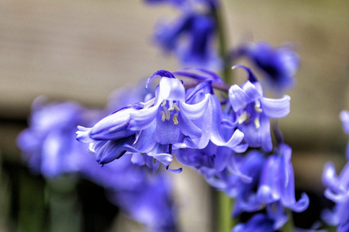 petal, purple flower, garden, nature, hyacinth, plant