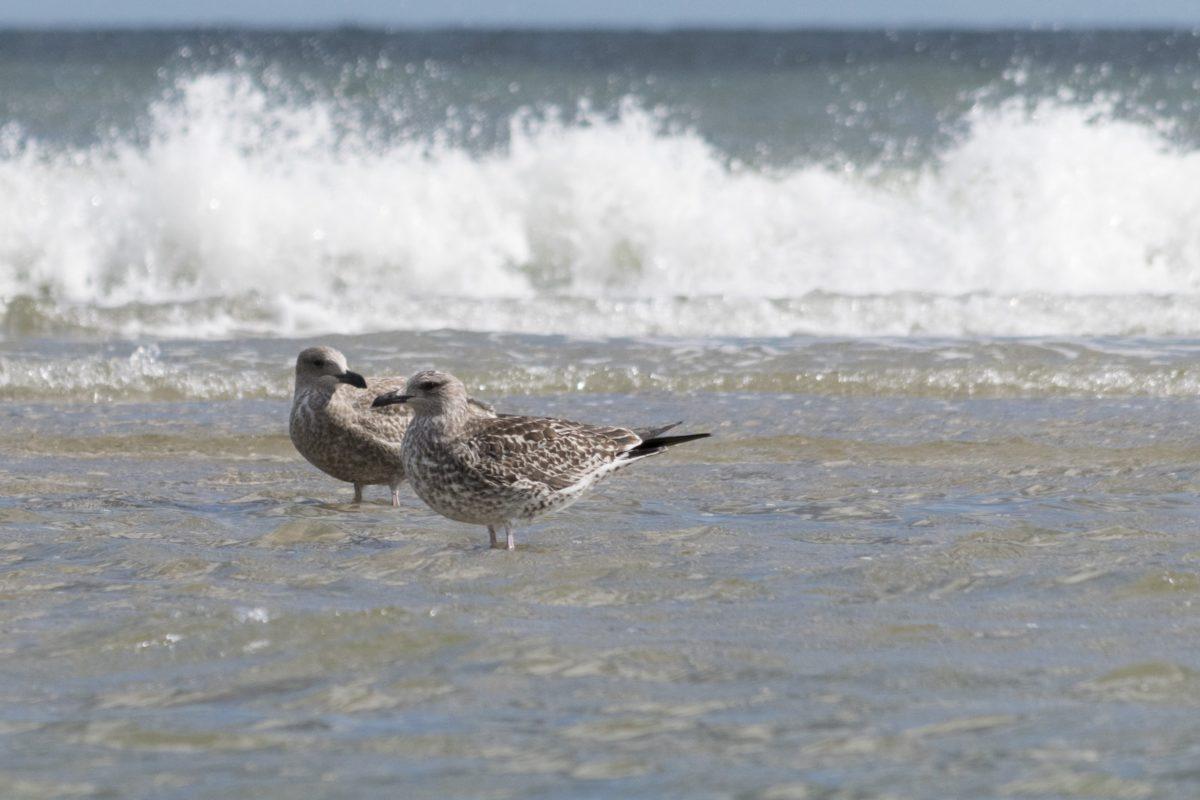 beach, bird, seashore, sea, wave, ocean, water, shorebird