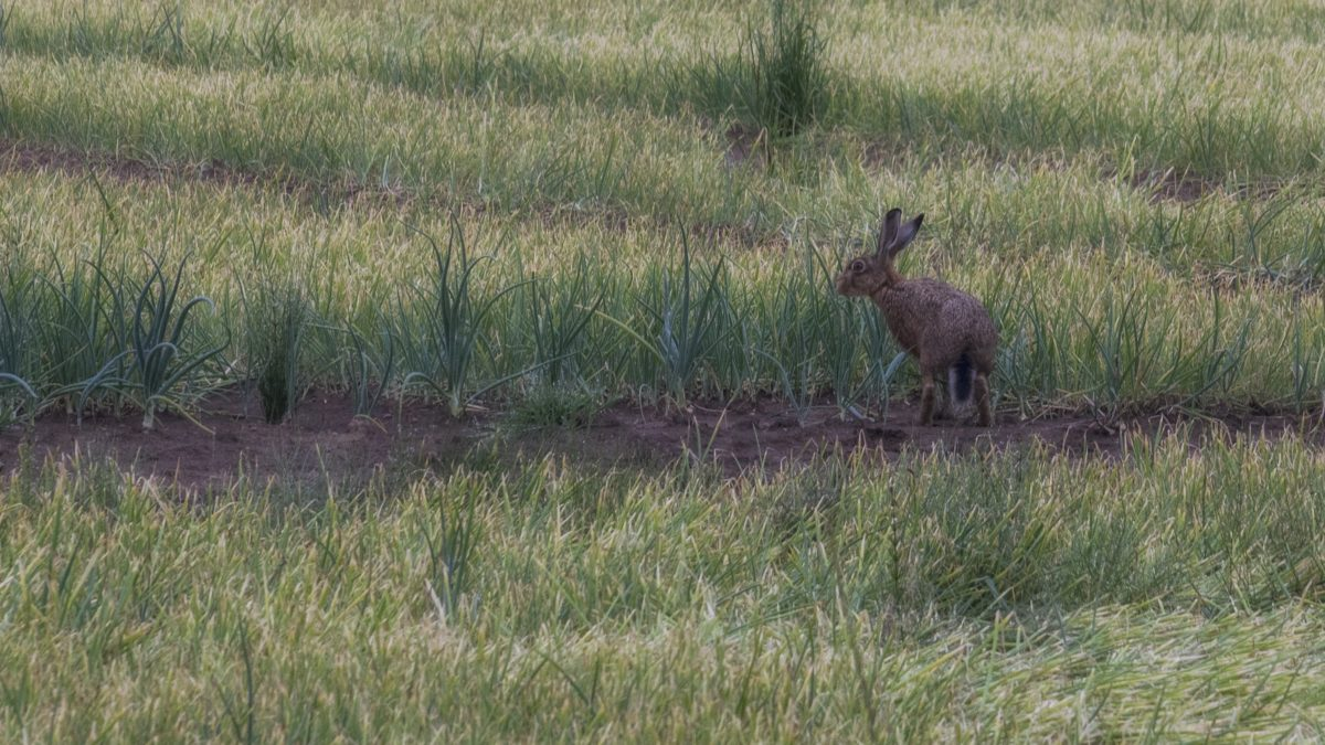трева, дива природа, заек, див, заек, на открито, на животните