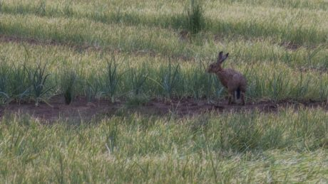 grass, wildlife, hare, wild, rabbit, outdoor, animal