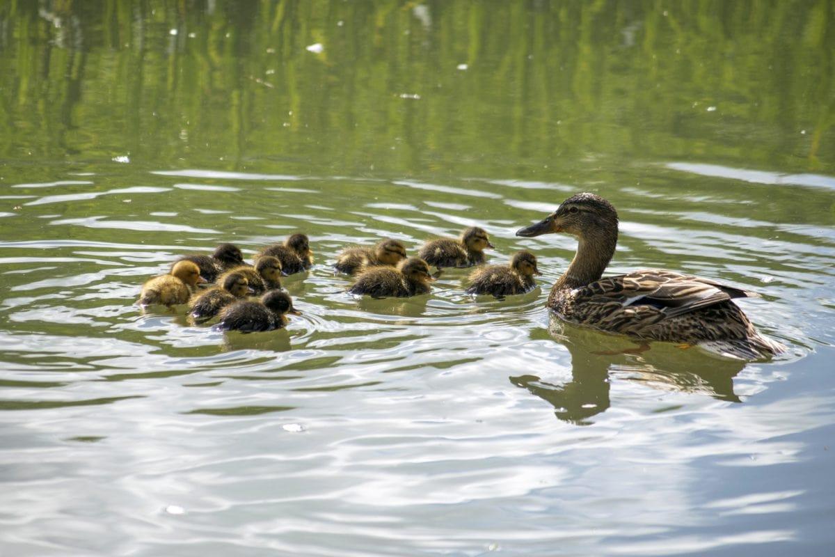 lintu, Waterfowl, Wildlife, vesi, järvi, siipi karja, ankka, joki