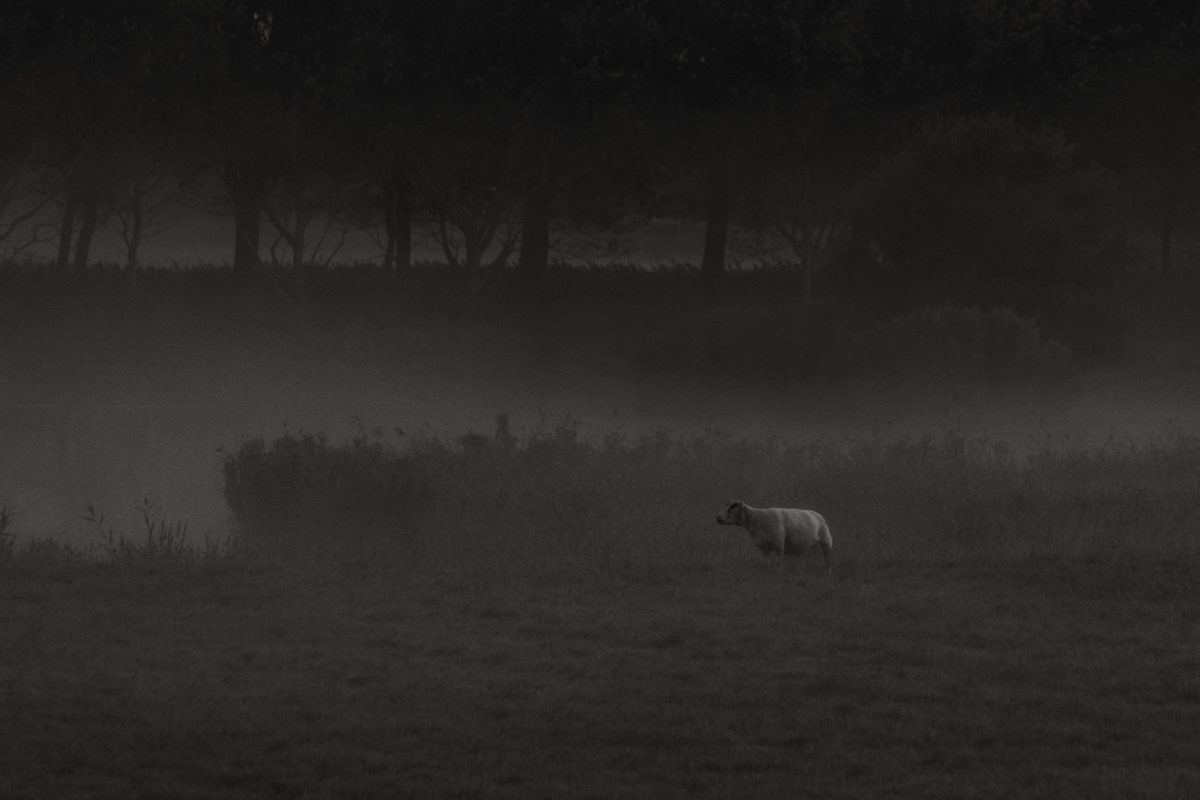 landscape, fog, cow, darkness, wildlife, wild, outdoor, grass, field