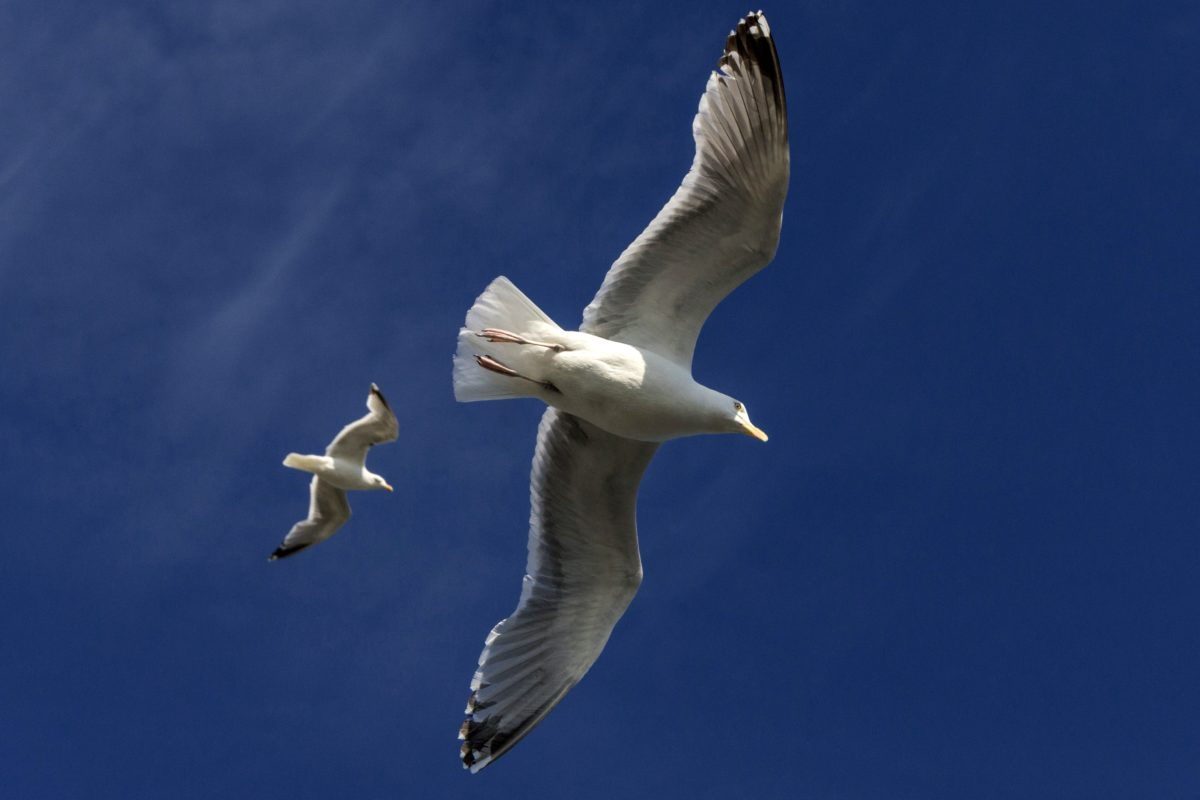 wildlife, flight, bird, blue sky, flight, seabird, seagull, feather