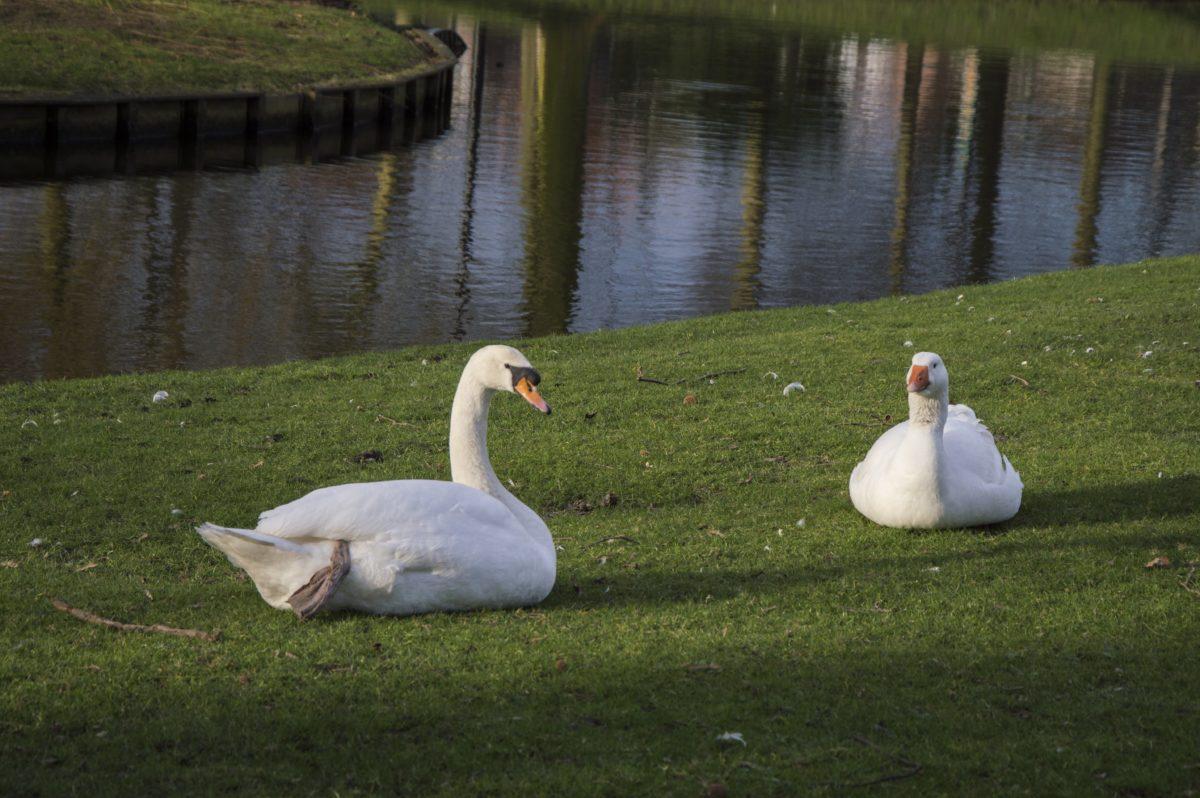 πουλί, χήνα, υδρόβια πτηνά, νερό, Λευκός κύκνος, λίμνη, αντανάκλαση