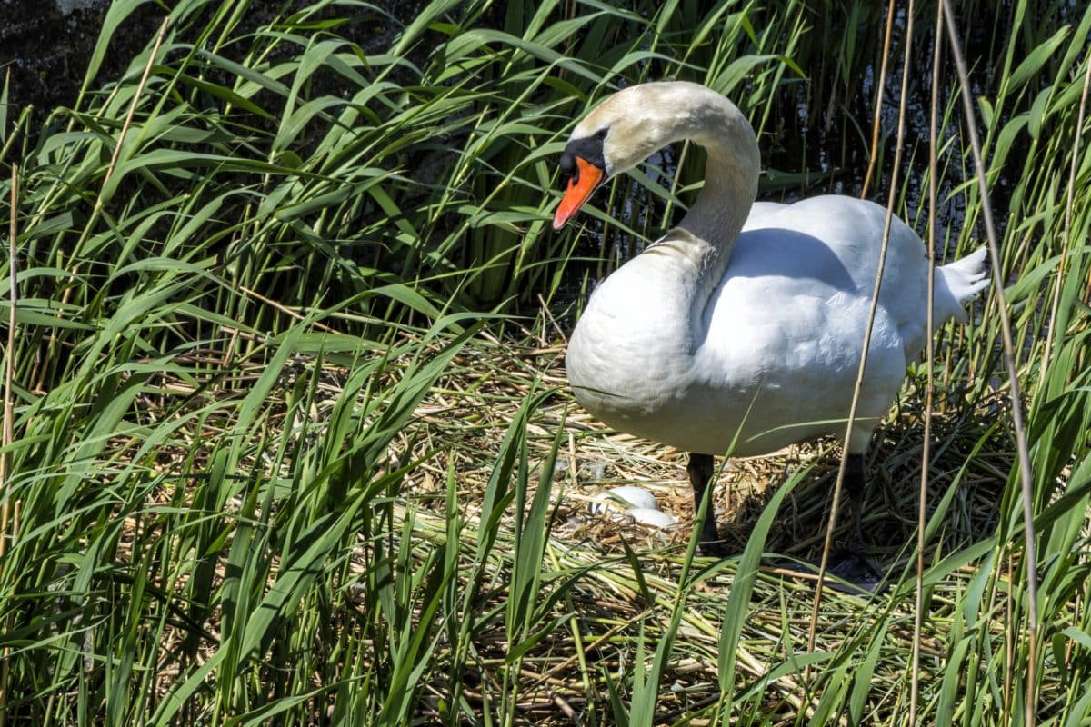 nature, grass, bird, beak, white swan, wildlife, green grass