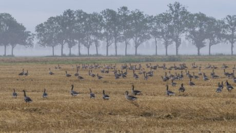 wildlife, bird flock, agriculture, nature, field, grass, landscape, grassland