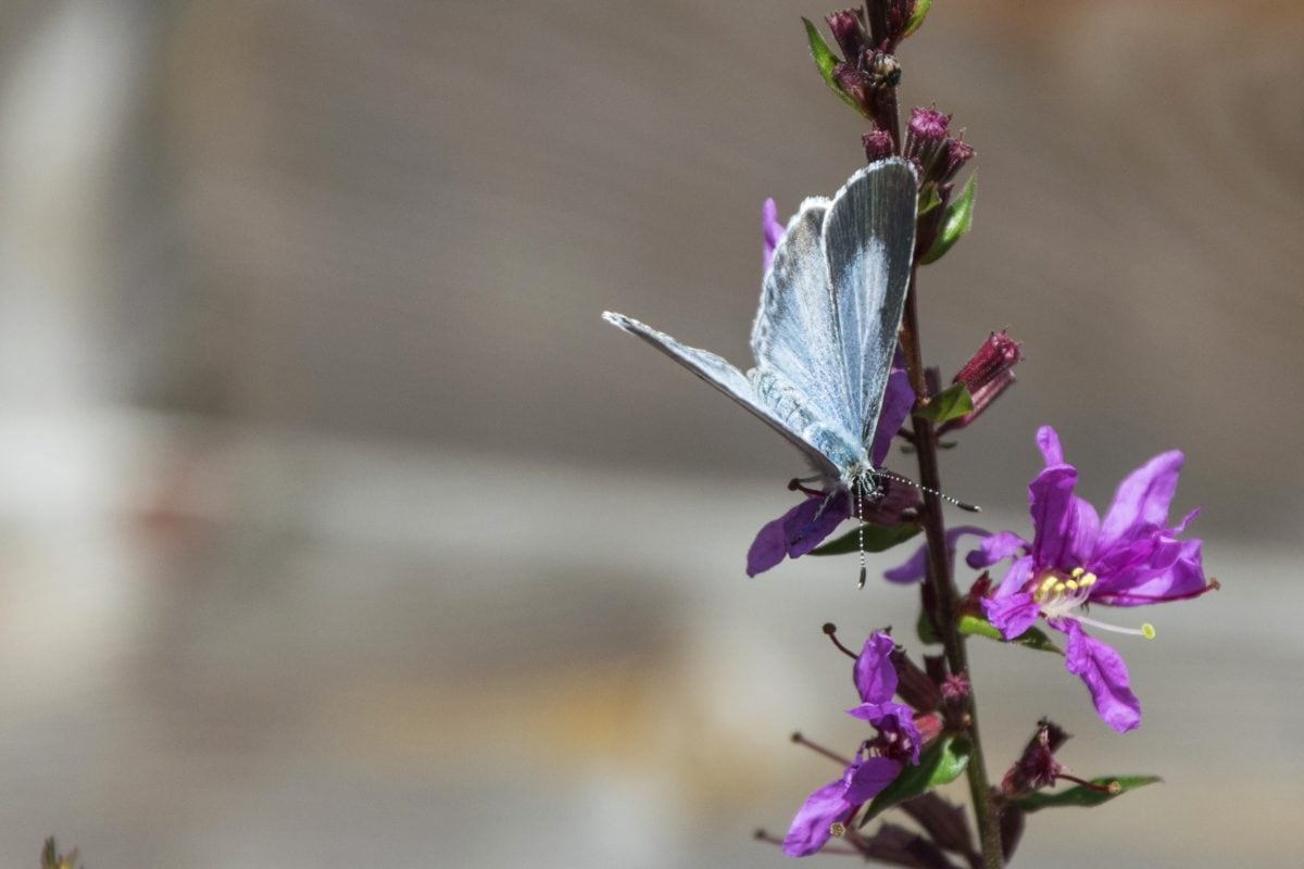 purple flower, leaf, blue butterfly, insect, summer, nature, herb, plant