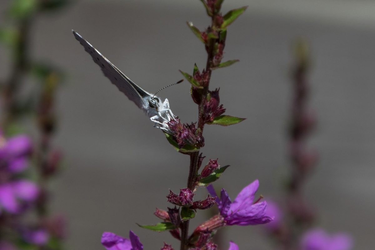 purple flower, summer, nature, garden, herb, plant, blossom, insect
