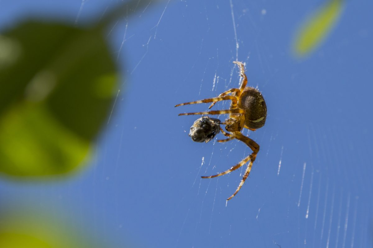 nature, insect, spider, invertebrate, spider web, blue sky, detail, arthropod, outdoor
