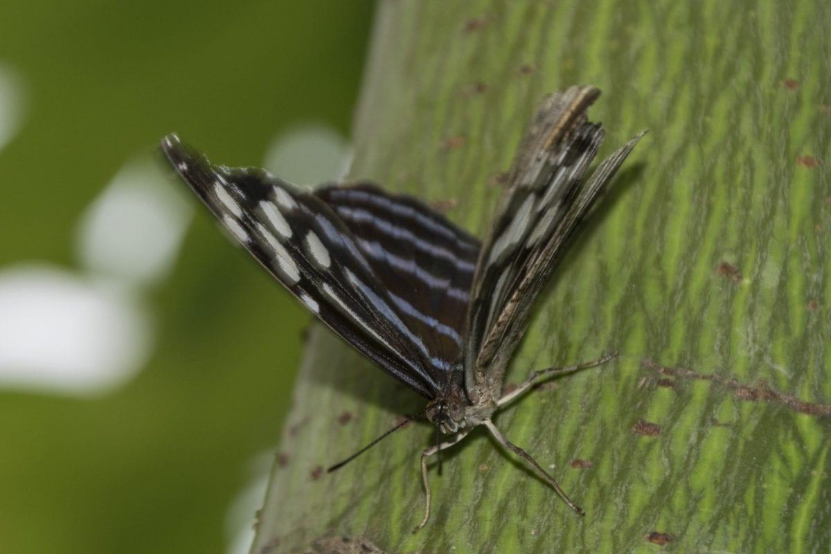 insekt, dyreliv, sort sommerfugl, natur, blå, have, metamorfose