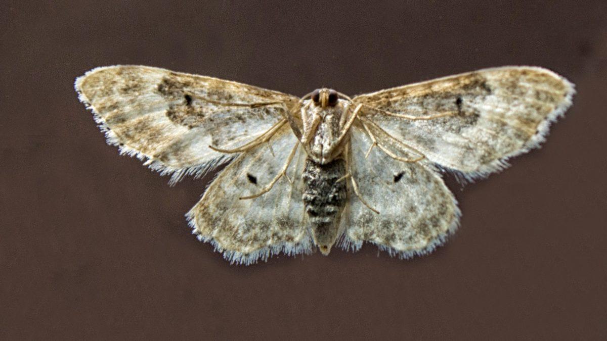 bijeli moljac, kukac, beskraljak, priroda, mimika, divljina, Arthropod