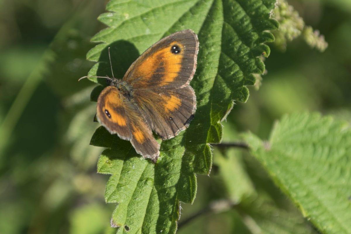 насекоми, листа, природа, имитации, дива природа, пеперуда, растение, билка, цвете